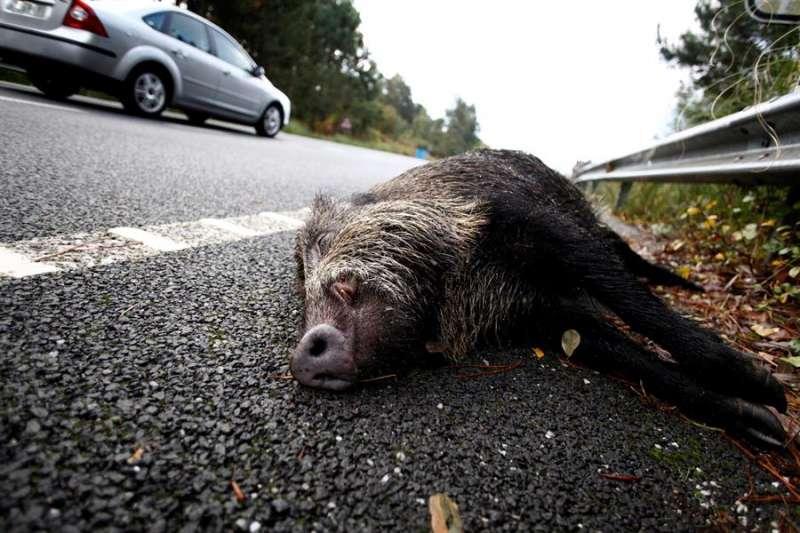 El cuerpo de un jabalí sin vida en el arcén de una carretera. EFE/Archivo