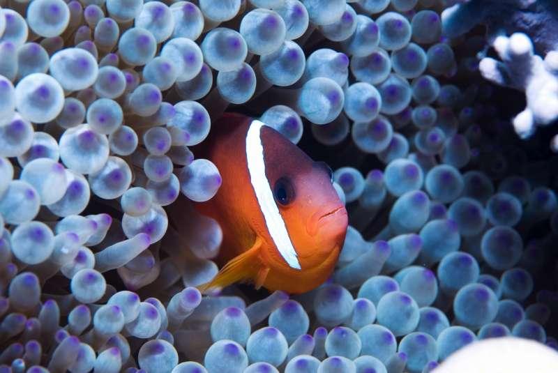 Un pez payaso.
