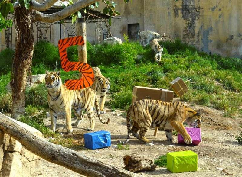 La fiesta del quinto cumpleaños de tres tigres de Bengala, en una imagen de Terra Natura.