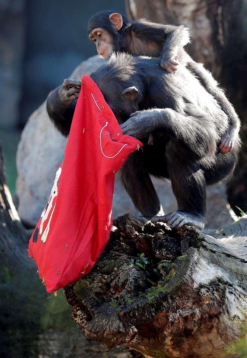 Un chimpancé y su cría revisan una bolsa tras el paso de Papá Noel. EFE