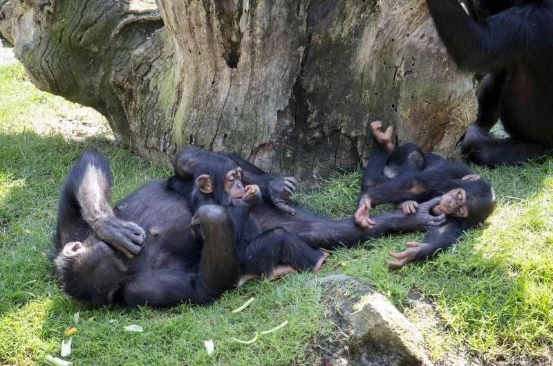 Djibril y Coco, crías de chimpancé, BIOPARC Valencia./EPDA