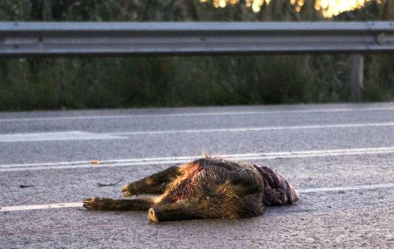 Un jabalí muerto en la carreteral. EFE/Juan Carlos Cárdenas/Archivo