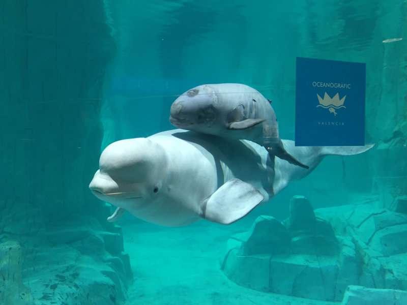 La beluga con su cría