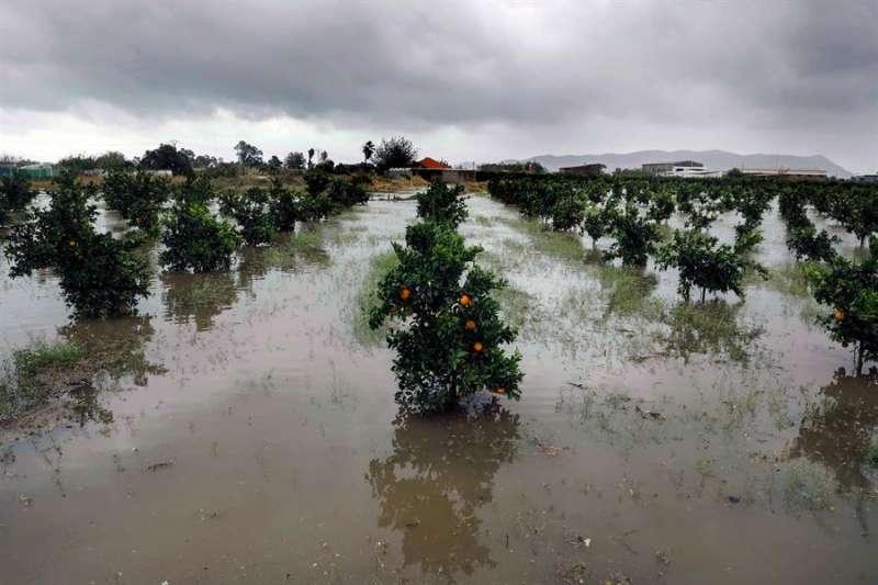 Campos de naranjos anegados cerca de la carretera N-332 que une Sueca con Cullera, durante las lluvias del jueves pasado. EFE