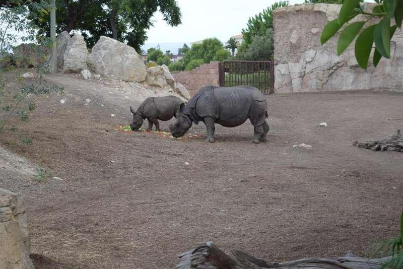 Imagen cedida por Terra Natura Benidorm del rinoceronte duna junto a su madre. EFE