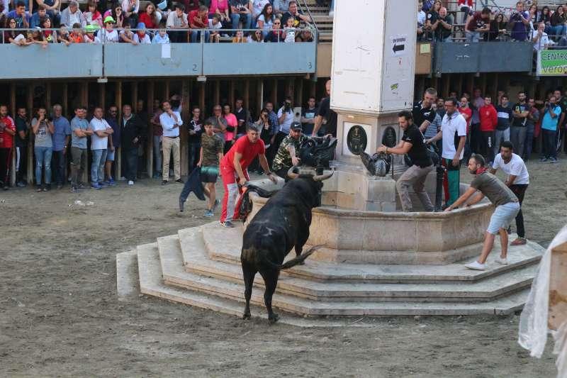 Toro en concurso en la plaza de la Cueva Santa