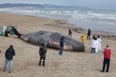 El Oceanogràfic simula el rescate de un cachalote varado de más de 16 metros. FOTO: GVA