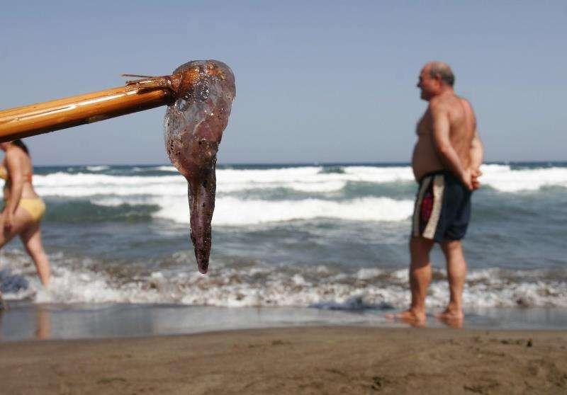 Una medusa sacada con un palo en una playa. EFE/Archivo