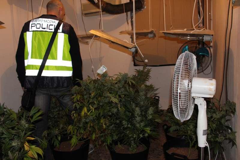 Algunas de las plantas de marihuana incautadas en Torrent. FOTO POLICÍA