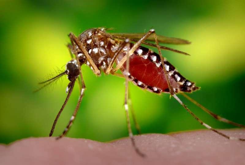 Imagen de un mosquito tigre. EPDA
