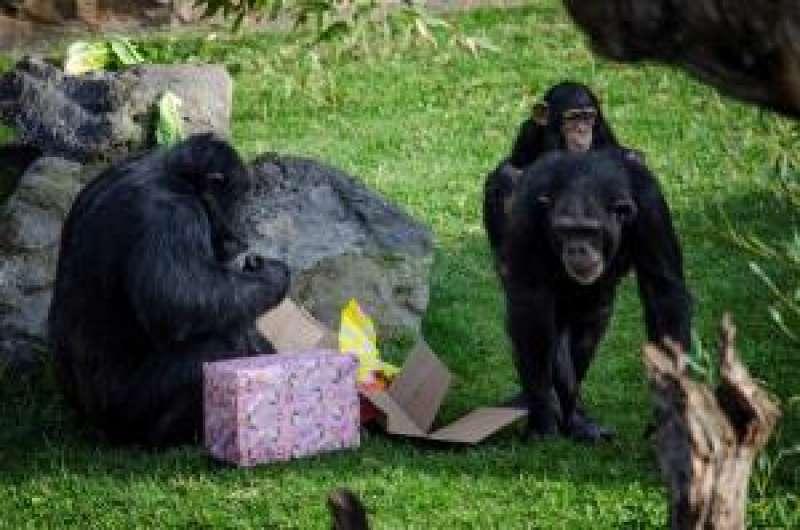 Los animales de Bioparc Valencia han recibido hoy los regalos de los Reyes Magos. EFE