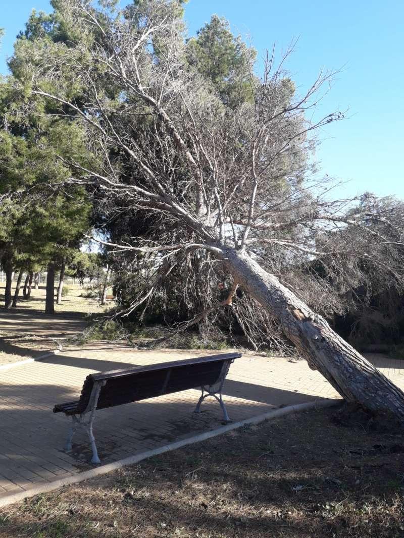 Pino cae en San Antonio de Benagéber con motivo de los fuertes vientos este fin de semana.