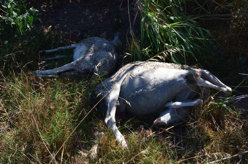 Dos ovejas muertas escondidas en un cañar. EPDA