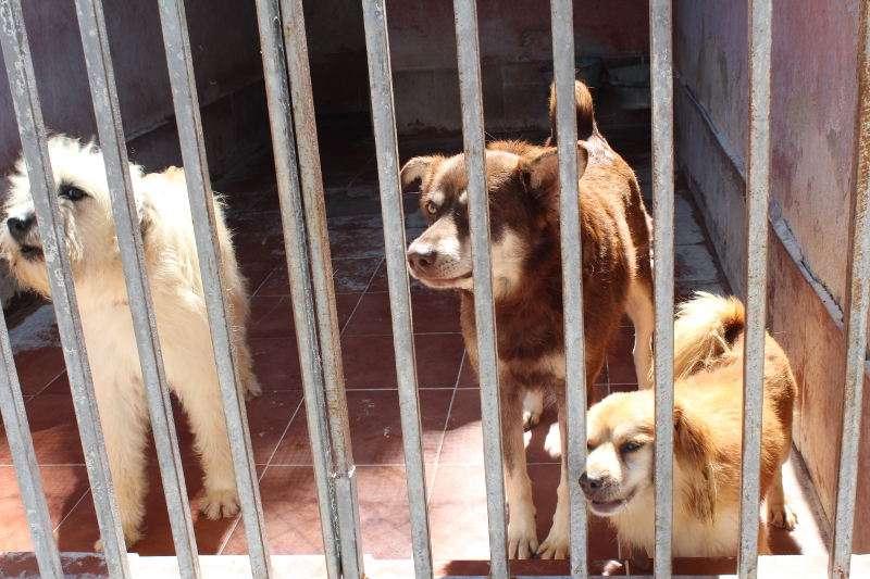 Tres perros recogidos por Gossos d
