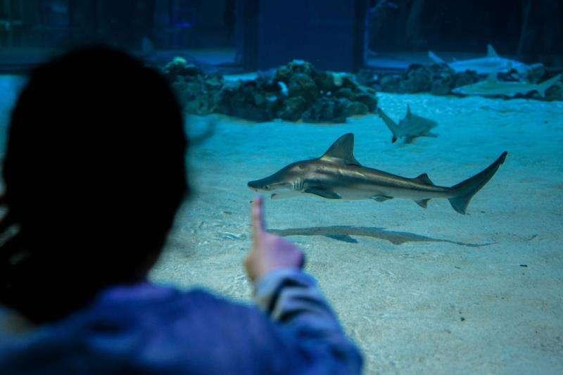 Una persona contempla un escualo en el Oceanogràfic de València, que presenta este miércoles la campaña Tiburones 2019. EFE