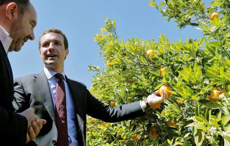 El presidente del PP, Pablo Casado, visita un campo de naranjos en La Pobla de Vallbona (Valencia), y realiza una intervención ante los medios de comunicación. EFE