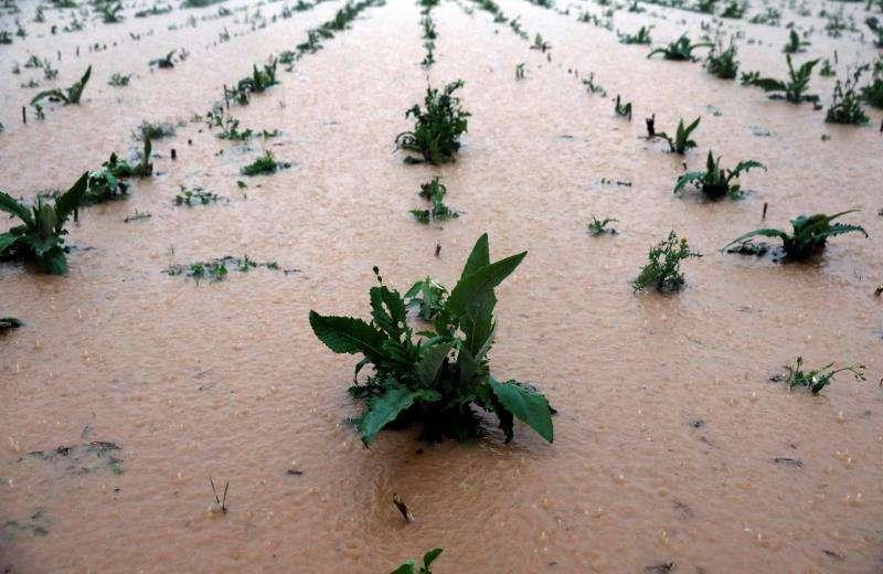 Vista general de un campo de alcachofas completamente anegado en la provincia de Valencia durante el último temporal de lluvias de noviembre. EFE/Archivo