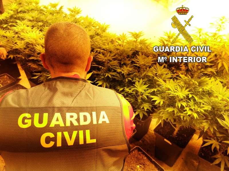 Plantas de marihuana de un cultivo.