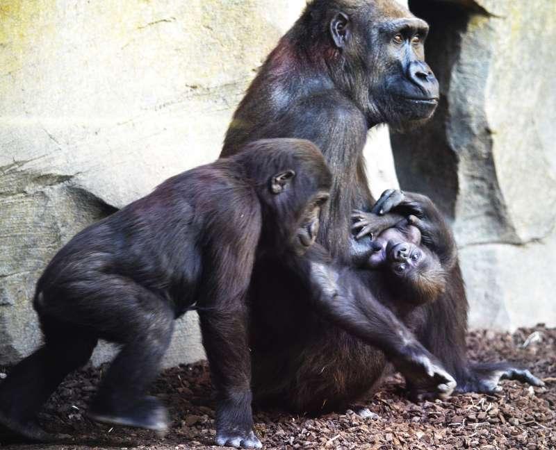 Gorilas de Bioparc