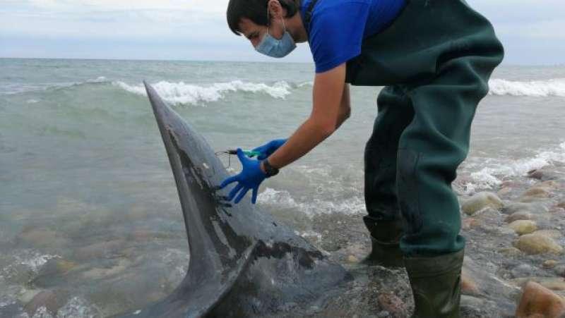 Un miembro de la Fundación Oceanografic toma muestras al zifio