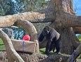 El peri�dico de aqu� -La gorila Fossey con algunos regalos. FOTO: EPDA