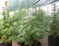 El peri�dico de aqu� -Imagen de algunas plantas de marihuana. FOTO: EPDA